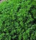 Chamomile Lawn – Chamaemelum nobile – 10,000 Seeds
