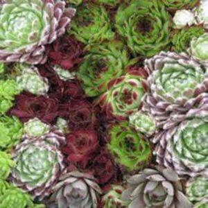 Outsidepride Sempervivum Hybridum – 1000 Seeds