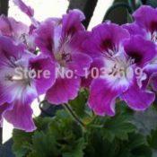 Pink mauve geranium seeds flower seeds perennial bonsai tree 6pcs/bag Pelargonium sementes de flores for flower pots planters