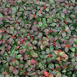50 Seeds Wintergreen Seeds – Beautiful Ground Cover – Perennial – Gaultheria Procumbens !