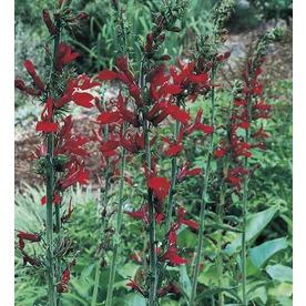 Monrovia 1-Gallon Cardinal Flower (L6053) NURSERY